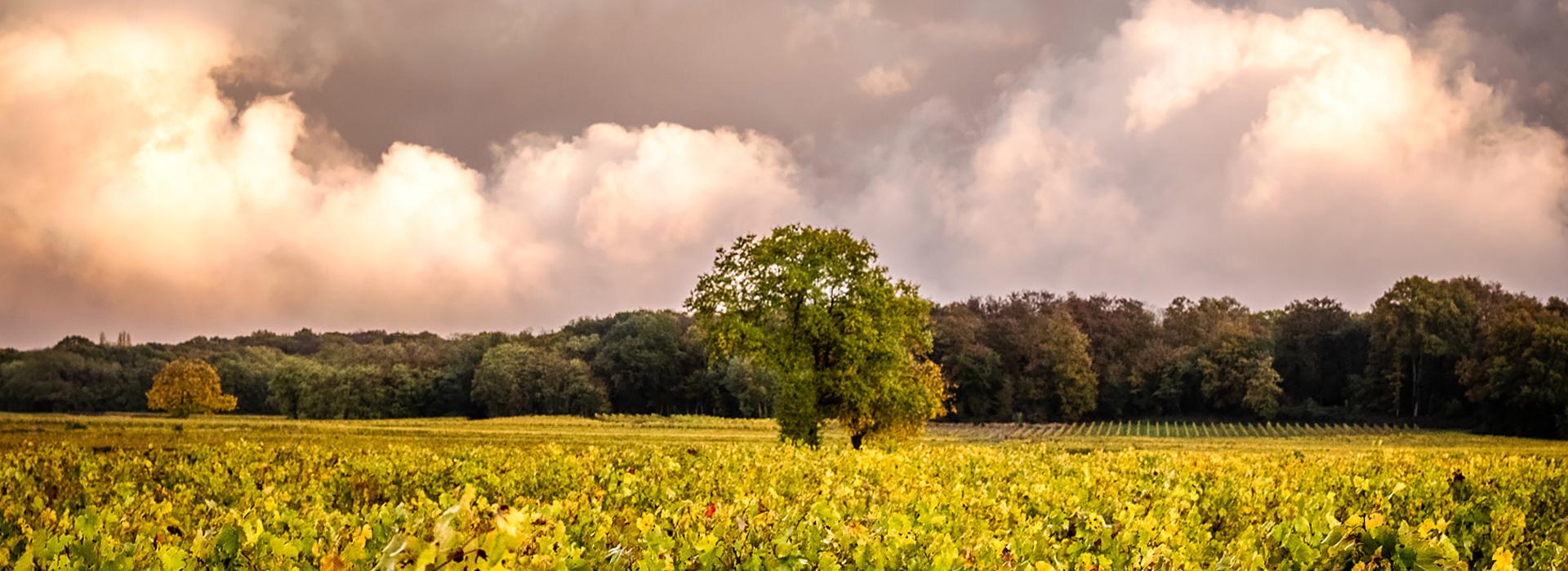 Vignes en agriculture biologique dans l'appellation Saumur Champigny
